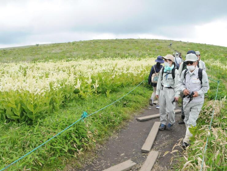 コバイケイソウが咲く高原を見て回る関係者ら