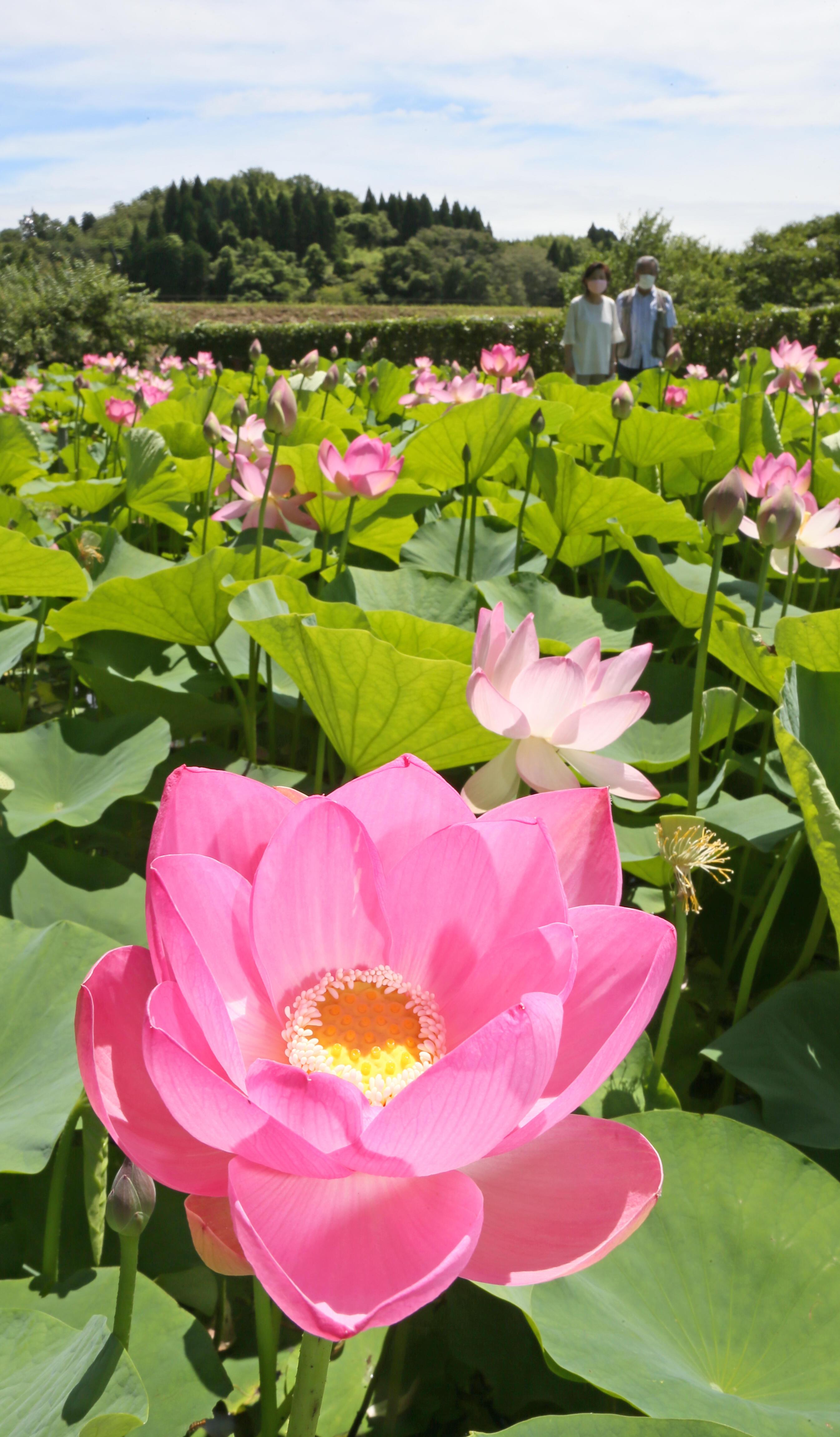 桃色の花を咲かせたハスの花=津幡町舟橋