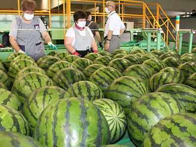 甘さが自慢です、露地栽培スイカ 松本で出荷始まる