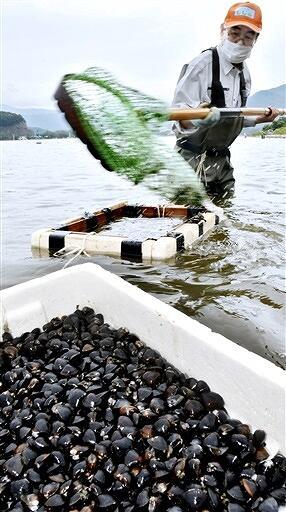 漁具「鋤簾」を使って、湖底のシジミを採る組合員=7月4日、福井県美浜町笹田の久々子湖