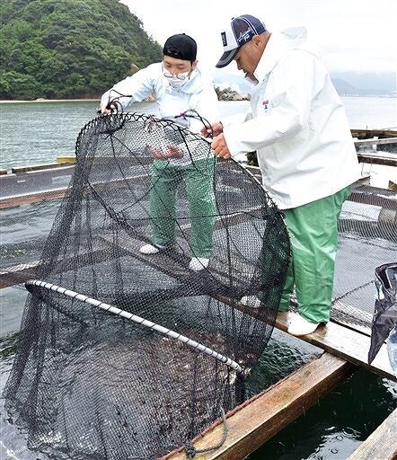 マダイの稚魚を養殖いけすに放す漁師=7月5日、福井県敦賀市沓
