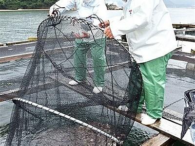 敦賀真鯛、立派に育て 稚魚4万匹超をいけすへ