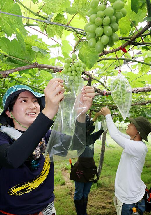 害虫や病気を防ぐため、ブドウに袋掛けする人たち=やまふじぶどう園