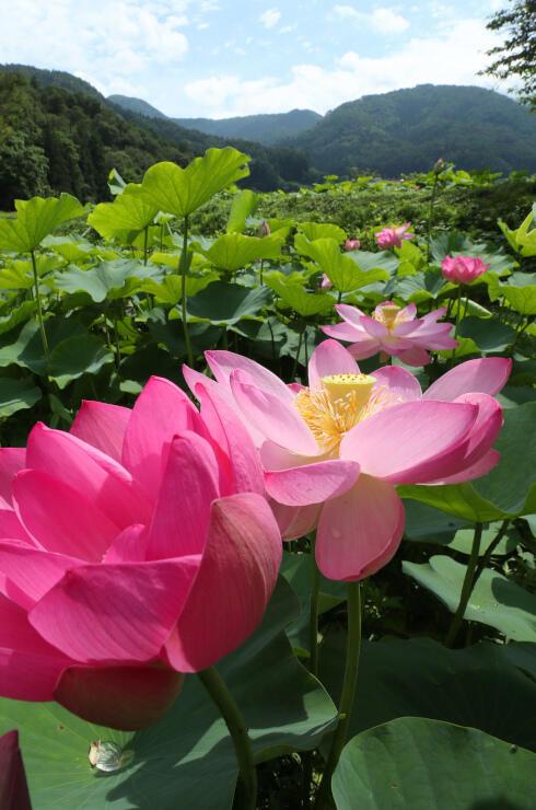 梅雨の晴れ間に、大輪の花を咲かせ始めた大賀ハス=7日、木島平村の稲泉寺