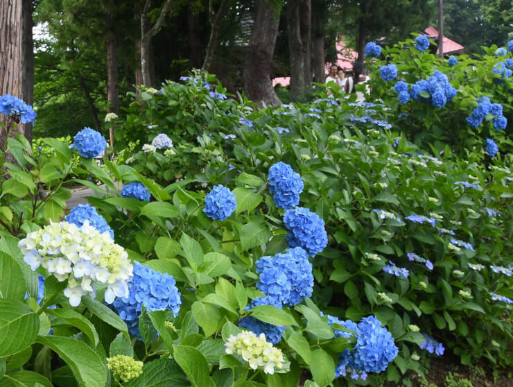 高源院の参道に咲くアジサイ=7日