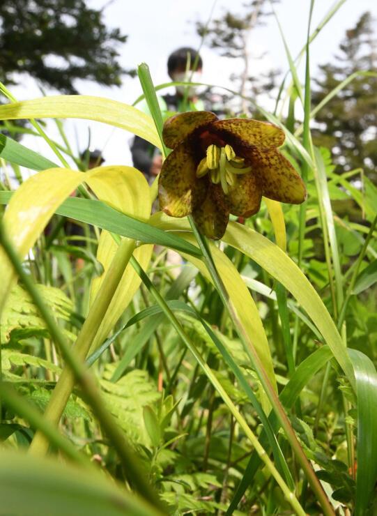 黒百合平でひっそりと咲くクロユリ