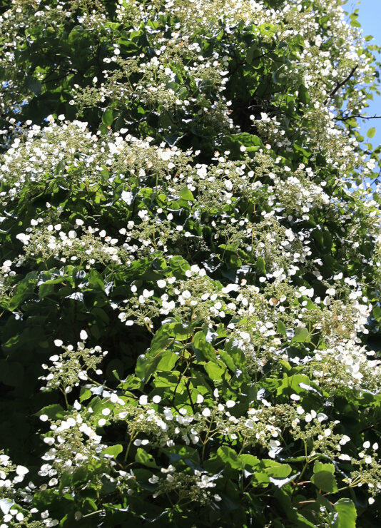 緑の葉に白い花が映えるイワガラミ=根羽村の茶臼山高原