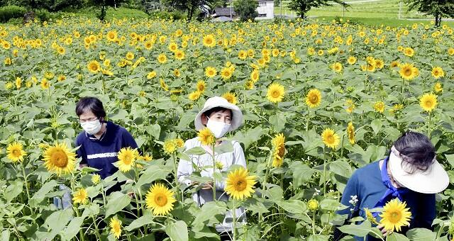 見頃を迎えた約1万本のヒマワリ=7月16日、福井県大野市蓑道の「スターランドさかだに」