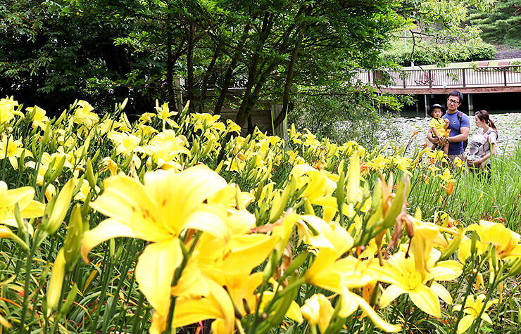鮮やかな黄色い花を咲かせたヘメロカリス=太閤山ランド