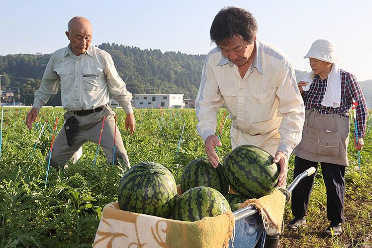 早朝から朝日スイカの収穫をする金田さん家族=富山市婦中町友坂