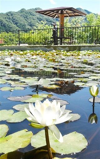 涼しげな花を咲かせるスイレン=福井県越前市万葉の里味真野苑