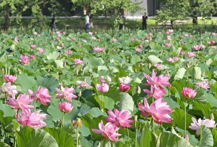 高田城址(じょうし)公園の堀に咲くハス=16日、上越市