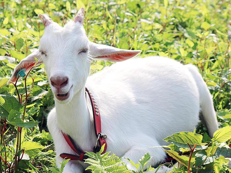 食いしん坊の赤の首輪のヤギ