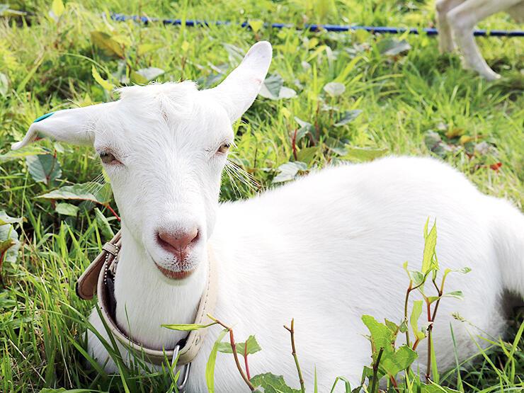 好奇心旺盛な白い首輪のヤギ