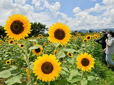 長野の被災地、咲き誇る希望 河川敷にヒマワリ10万本