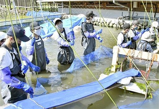 イトヨの〝引っ越し〟を手伝う中学生=8月2日、福井県大野市の「本願清水イトヨの里」