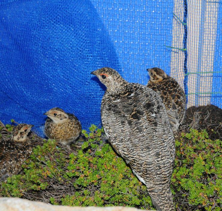 ヘリコプターで中央アルプスから運ばれ、茶臼山動物園の飼育舎に入ったライチョウの母鳥とひな=3日、長野市(環境省提供)