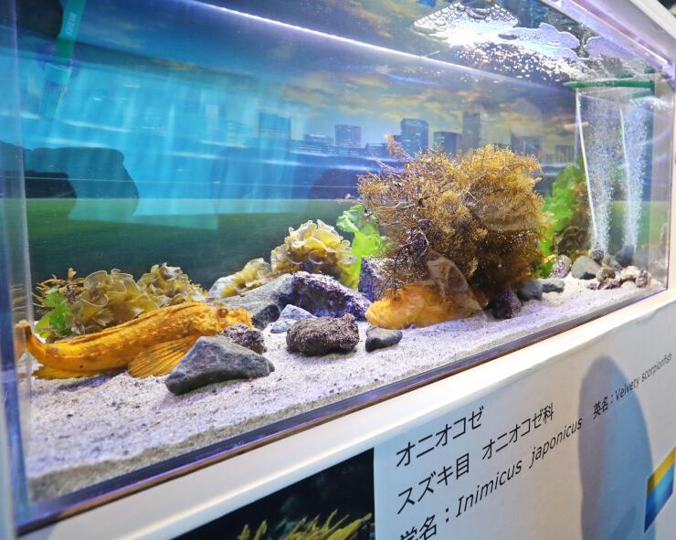 変異種の黄金色のオニオコゼ=8月3日、上越市立水族博物館