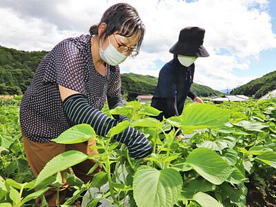 ビタミン豊富なエゴマの葉 辰野で摘み取り体験