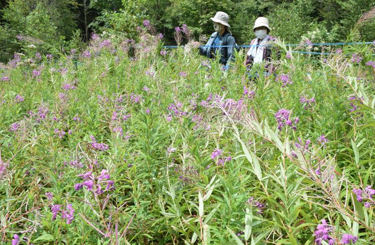 八千穂高原自然園に咲いたヤナギラン