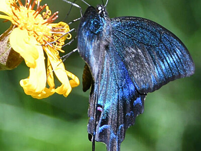 ミヤマカラスアゲハ、気品ある色彩の舞い 浅間山・湯の平