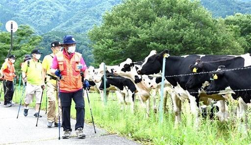 放牧された牛を眺めながら歩く参加者=8月22日、福井県大野市南六呂師