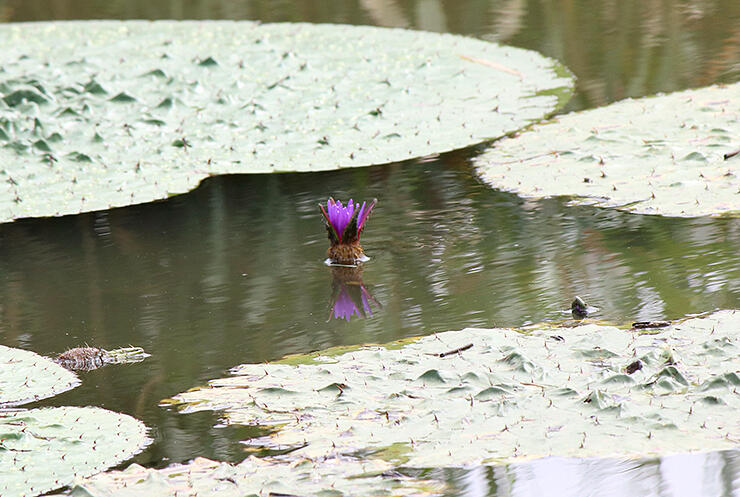 例年より遅く見頃を迎えたオニバスの花