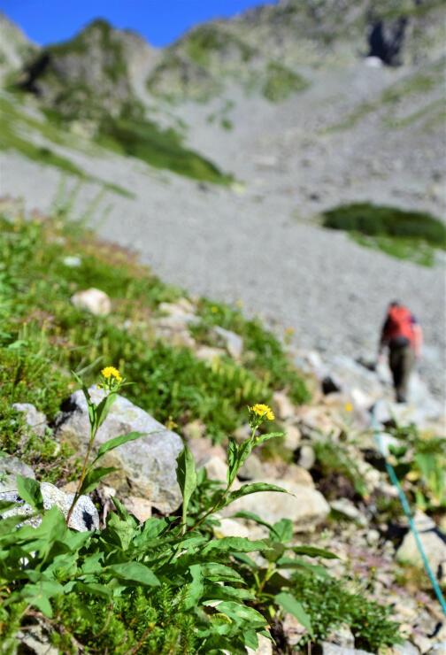 涸沢カールのミヤマアキノキリンソウ。奥穂高岳を目指す登山者を見送っているよう=8月29日
