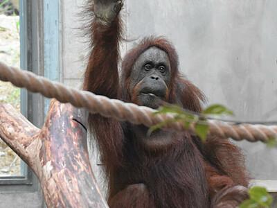 オランウータンの森にコツメカワウソ 長野・茶臼山動物園「混合展示」へ