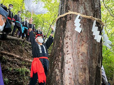 上田の生島足島神社、御柱大祭へ アカマツ4本「本見立て」