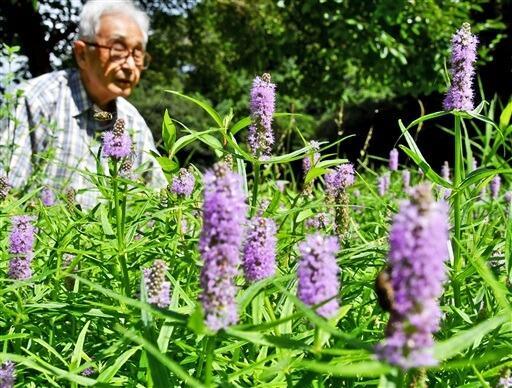 満開を迎えたミズトラノオ=9月6日、福井県敦賀市樫曲