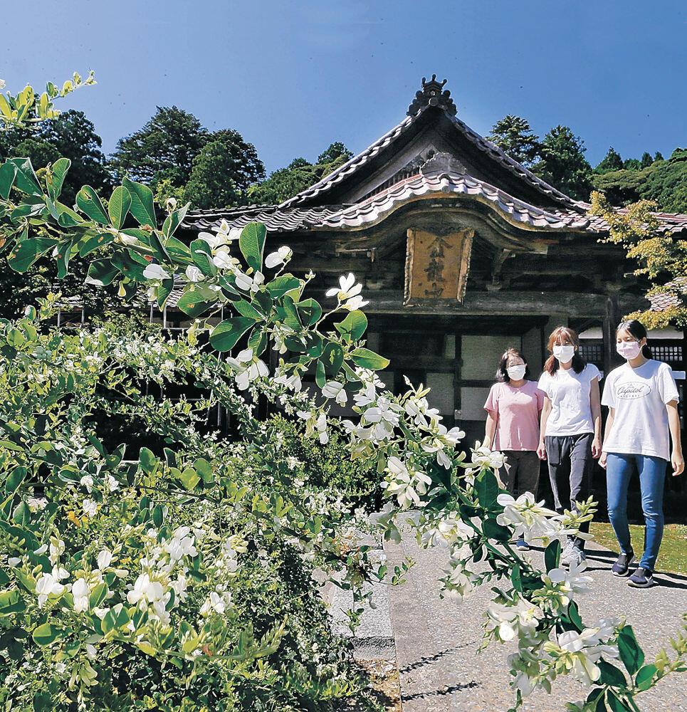 青空の下で純白の花を咲かせたシラハギ=加賀市大聖寺下屋敷町