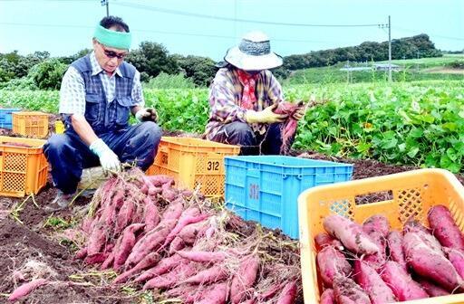 収穫された特産の「とみつ金時」=9月8日、福井県あわら市北潟