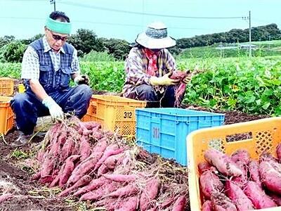 とみつ金時、収穫最盛期 甘みは上々 福井県あわら