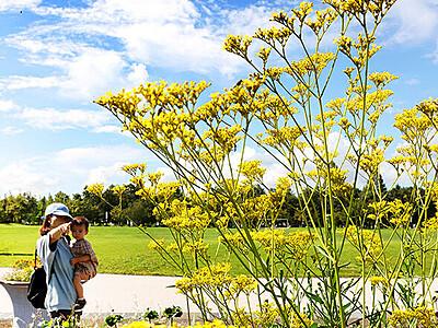秋の黄色 青空に映え 富山県総合運動公園のオミナエシ