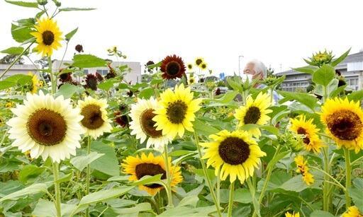 色形が異なる30種類の花を咲かせるヒマワリ畑=福井県坂井市三国町加戸
