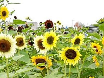 9月中旬なのに...秋も彩るヒマワリ「変わり種」30種咲く 坂井市三国町