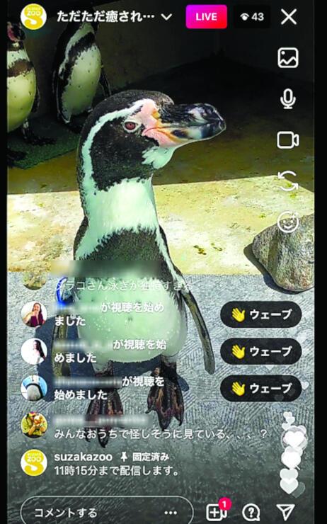 ライブ配信中のフンボルトペンギン