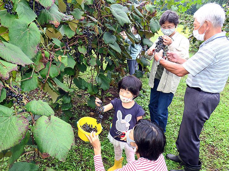 収穫したヤマブドウを手にする参加者