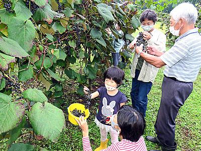 ヤマブドウ甘酸っぱい 移住者ら収穫体験
