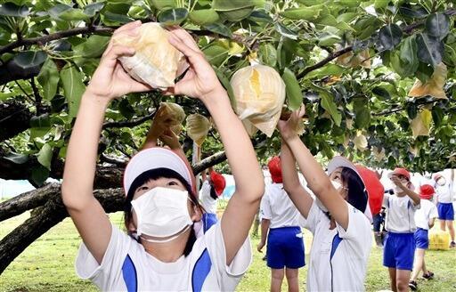 岩屋梨を収穫する若狭町みそみ小の児童=9月13日、福井県若狭町岩屋