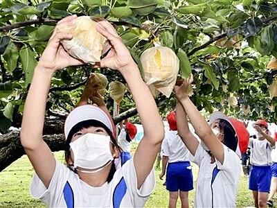もぎたて岩屋梨「甘いぞ」 若狭町みそみ小児童が地元特産を収穫