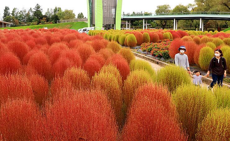 鮮やかな赤色に染まったコキア=砺波チューリップ公園