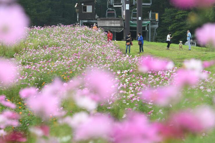 色とりどりに咲き、高原を彩るコスモス=14日、信濃町野尻