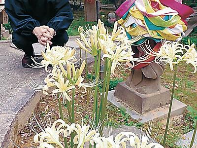白いヒガンバナ開花 金沢・野町の香林寺