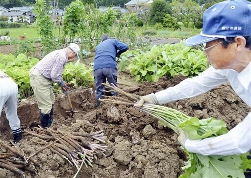 川島ごぼうを収穫する研究会メンバーら=9月17日、福井県鯖江市川島町