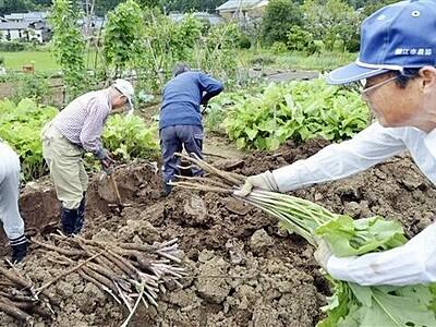 伝統野菜「川島ごぼう」香り高く 福井県鯖江市で収穫、住民グループが栽培