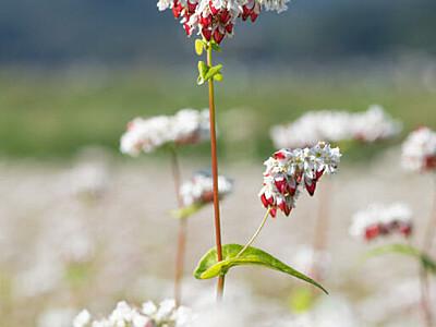 タチアカネ、紅白揺れる秋 青木特産ソバの花と実