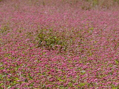 赤ソバ、風にゆらゆら 箕輪の畑4・2ヘクタール