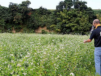 ソバの花一面彩る 砺波・宮野営農が栽培
